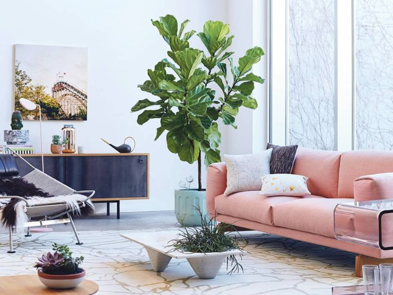 Ficus lyrata tree is the best choices to beautify the room.