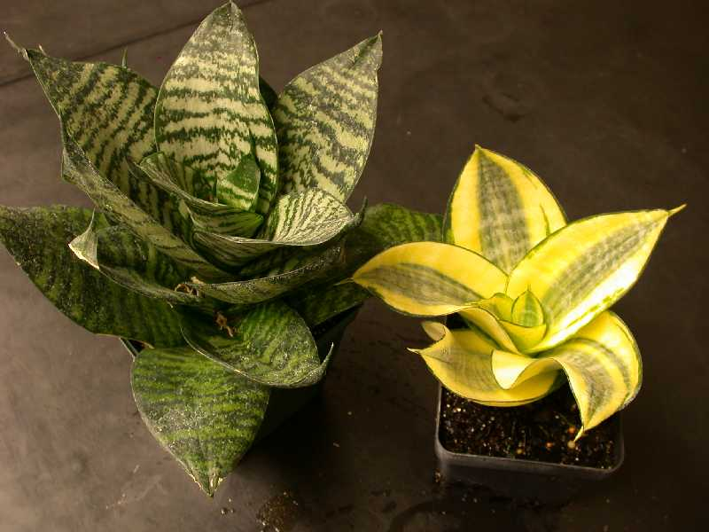 Choose the sansevieria mini to beautify the room.