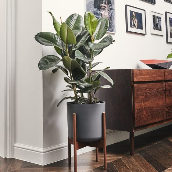 rubber plant living room decor