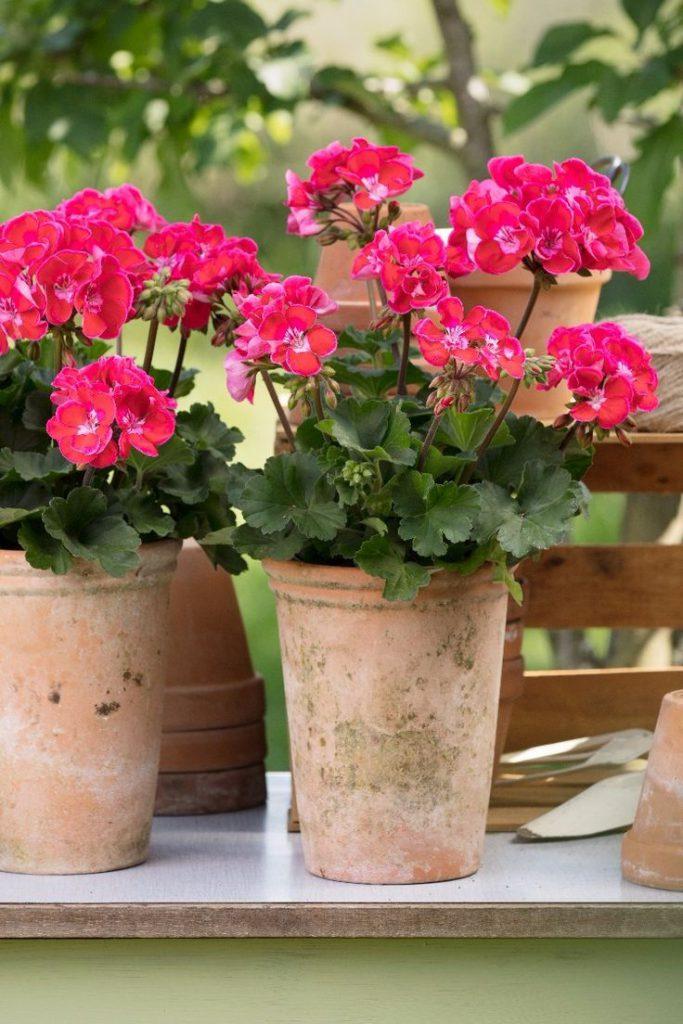 Scented geraniums plant